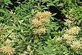 Polygonum molle - Sikkim Knotweed - at Ooty 2014 (4).jpg