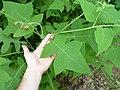 Polymnia Canadensis leaves 01.JPG