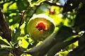 Pomegranate (8629821773).jpg