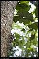 Pomponia linearis (14319680204).jpg