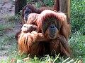 Pongo in Ramat-Gan Safari.jpg