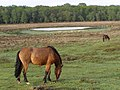 Ponies grazing south of Starpole Pond, New Forest - geograph.org.uk - 173092.jpg