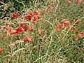 Poppies on the South Downs - geograph.org.uk - 201470.jpg
