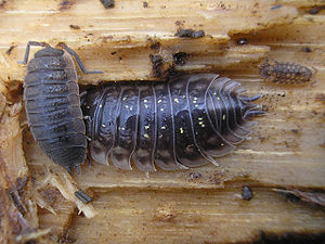 Woodlouse - Porcellio scaber (left) and Oniscus asellus (centre) living on fallen wood