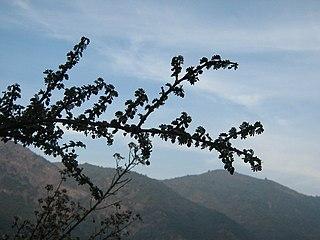 <i>Porlieria</i> genus of plants