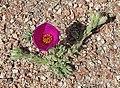 Portulaca confertifolia (8676299773).jpg