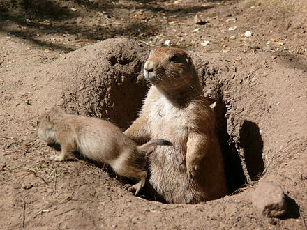 A black-tailed prairie dog, with young, emerges from its burrow Prariehund P1010308.JPG