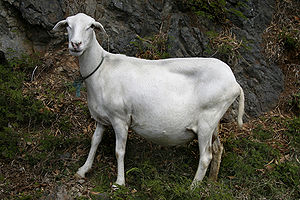 Domestic sheep reproduction - A pregnant St Croix ewe