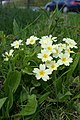 Primroses by the A303 - geograph.org.uk - 167823.jpg