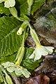 Primula vulgaris 3.jpg