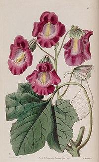 Proboscidea louisianica subsp. fragrans (Martynia fragrans) Edwards's Bot. Reg. 26. 85. 1840