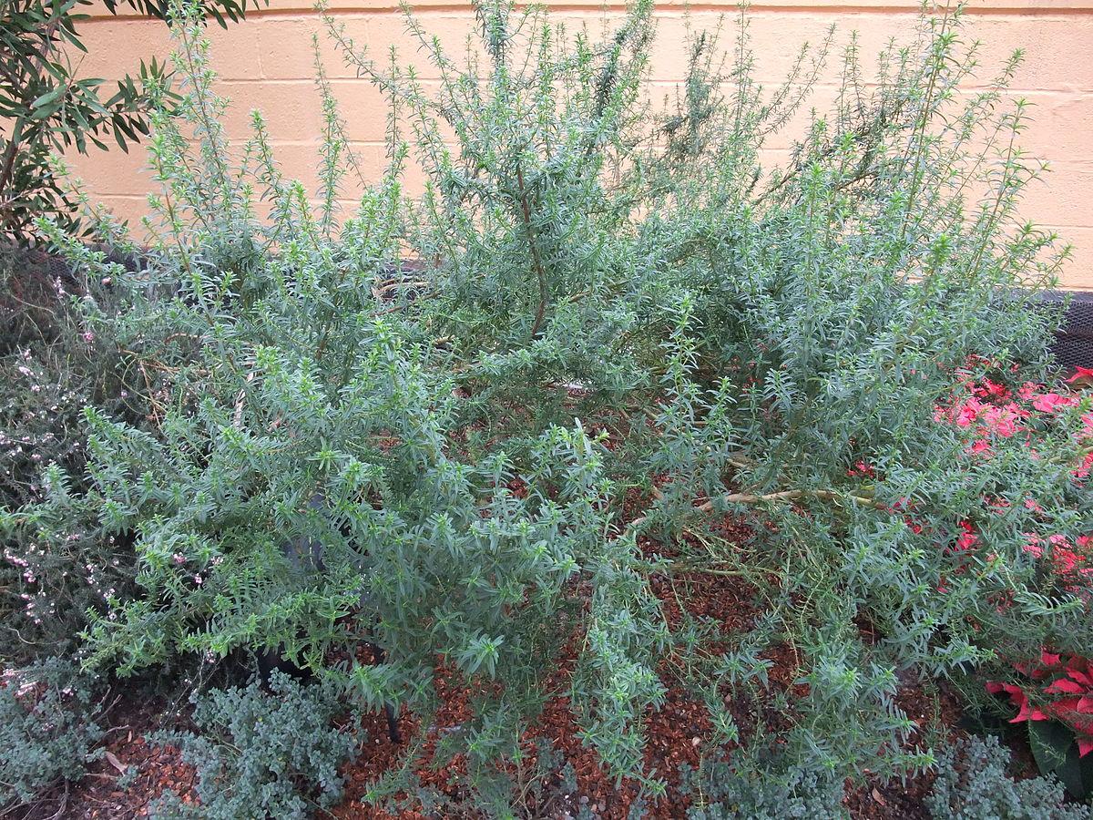 Prostanthera Phylicifolia Wikipedia