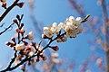 Prunus armeniaca.jpg