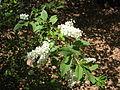 Prunus padus, J. Garmendia 2643.JPG