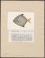 Psettus argenteus - 1700-1880 - Print - Iconographia Zoologica - Special Collections University of Amsterdam - UBA01 IZ13500477.tif