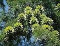 Pseudolarix amabilis female cones.jpg