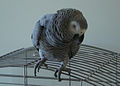 Psittacus erithacus -pet on top of cage-8a.jpg