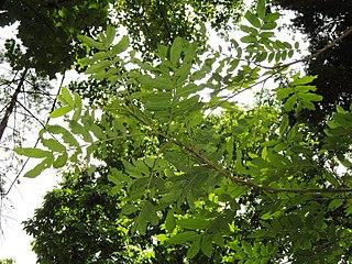 TỨ TUYỆT HOA  320px-Pterocarya_tonkinensis_-_Kunming_Botanical_Garden_-_DSC02931