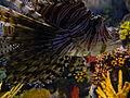 Pterois volitans Laslovarga04.JPG