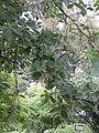 Pterostyrax psylophyllus rameau.jpg