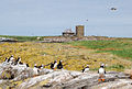 Puffins on Staple Island looking towards Brownsman - geograph.org.uk - 1371393.jpg