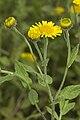 Pulicaria dysenterica bonneil 02 02082007 3.jpg