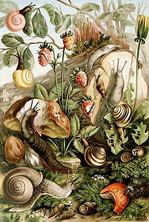 Pulmonata - An artistic but scientifically incorrect version of various European land snails and slugs (one species here is not a pulmonate), their food plants and fungi, and a beetle that eats mollusks, bottom right.
