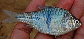 Spanner barb Species of fish