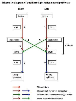 Pupillary light reflex - Schematic diagram of pupillary light reflex neural pathway