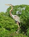 Purple Heron Ardea purpurea by Dr. Raju Kasambe DSCN7248 (2).jpg