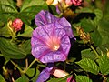 Purple Morningglory (15774710086).jpg
