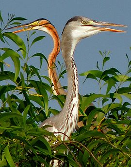 Purple and Grey Herons (Ardea purpurea & cinerea) Photograph By Shantanu Kuveskar.jpg