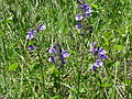 Purple flowers on Reed Bingham island.JPG