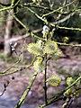Puss Willow - geograph.org.uk - 367739.jpg
