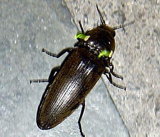 Glowworm - Image: Pyrophorus noctilucus click beetle
