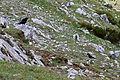 Pyrrhocorax pyrrhocorax 02 by-dpc.jpg