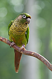 Pyrrhura frontalis -perching on branch-8a