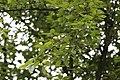 Pyrus communis, Hangzhou Botanical Garden 2018.06.03 16-03-51.jpg
