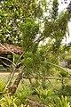 Quebradura (Euphorbia tirucalli) - Flickr - Alejandro Bayer.jpg