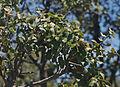 Quercus coccifera - Kermes Oak -1.JPG