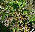 Quercus gambelii 2.jpg