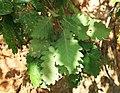 Quercus petraea iberica 3.jpg
