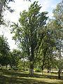 Quercus robur pyramidalis.jpg