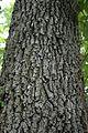 Quercus velutina (24199929415).jpg