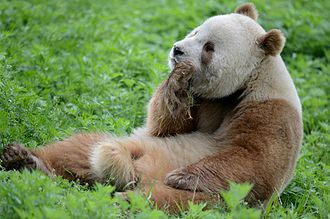 Giant panda - The Qinling panda has a light-brown and white pattern