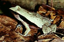 Rã-bugio (Physalaemus olfersi)