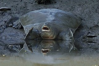 Euphrates softshell turtle species of reptile