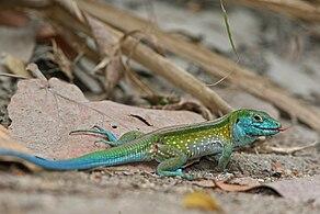 rainbow whiptail wikipedia