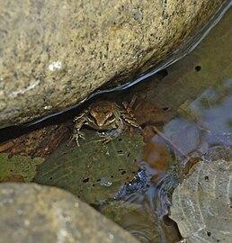 Rana-iberica-La-Vera-20071111 11.jpg