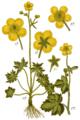 Ranunculus acris & lanuginosus - Sturm.png